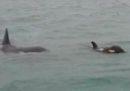Sono state avvistate delle orche a Genova