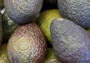 In Germania e Danimarca sono entrati in commercio gli avocado che durano di più