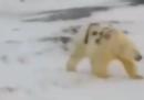Il video di un orso polare con scritto sul mantello t-34, in Russia
