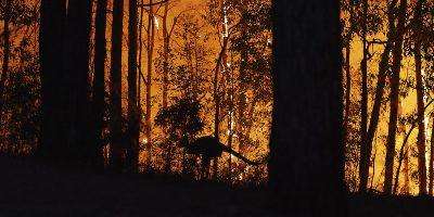 Quanti animali sono morti negli incendi in Australia?