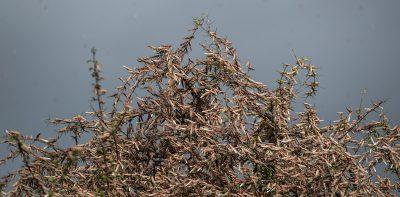 Le foto dell'invasione di locuste in Kenya