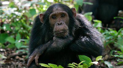 Il coronavirus tra le scimmie