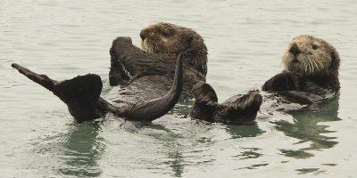 La passione delle lontre per i sassi
