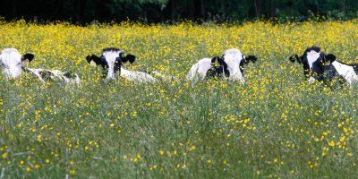 Le mucche potrebbero aiutarci contro il coronavirus