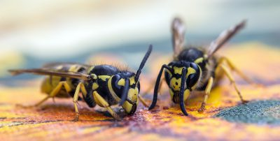 Dovremmo conoscere meglio le vespe