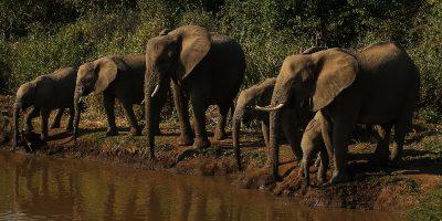 In Botswana sono morti centinaia di elefanti e non è chiaro perché