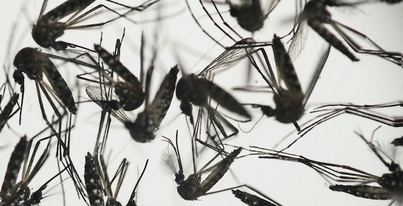 Alle isole Keys arriveranno centinaia di milioni di zanzare geneticamente modificate
