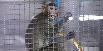 C'è carenza di scimmie per le ricerche sul coronavirus