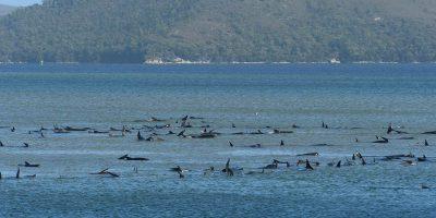 Centinaia di cetacei sono morti in Tasmania