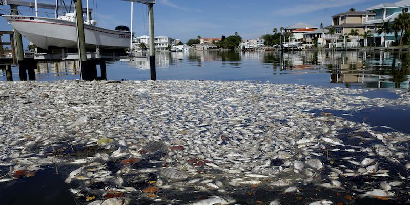 Quasi 2mila tonnellate di pesci morti sono arrivate sulle spiagge della Florida