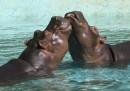 Hai mai visto l'ippopotamo?
